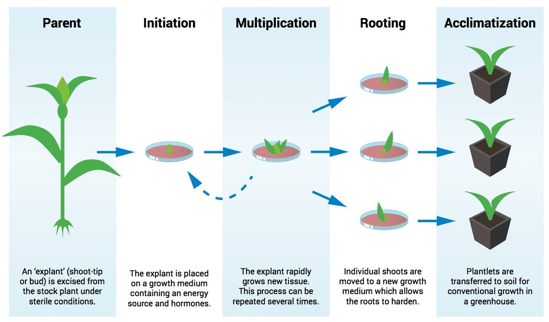 alliance growers chibafreen process