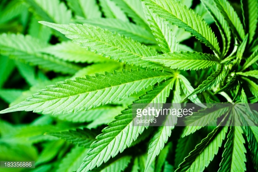 Scott's Miracle-Gro: Riding High on the Rising Marijuana Market?
